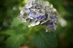 公園の最後の紫陽花