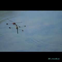 秋のトンボ 2 コノシメの産卵