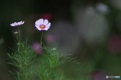 公園 花の丘 コスモス 2