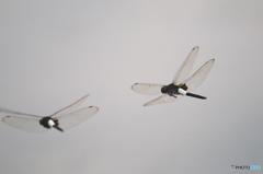 オフ会での飛んでるトンボ 3