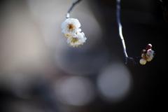 公園の白梅