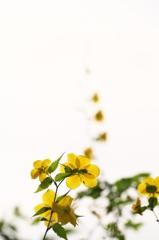 公園の山吹の花 4