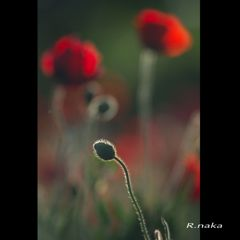 花の丘 シャーレーポピー 4