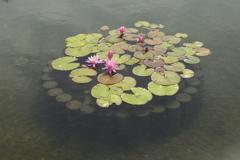 公園のお花スイレン