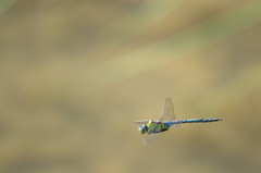 飛んでるトンボ 3