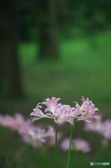 公園 森の中のナツスイセン 4