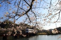 桜の大池(1)