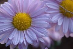 小菊の彩 3 DSC_8077