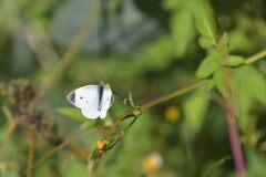 野の花にモンシロチョウ DSC_3852