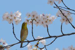平成最後の桜ジロー DSC_9687