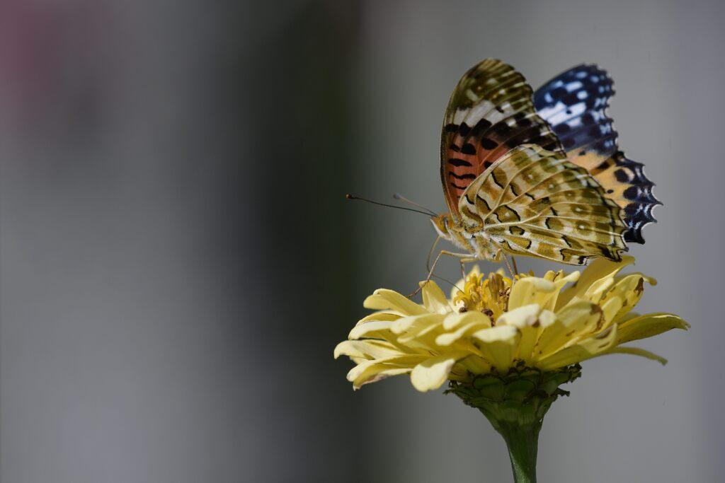 残り花にツマグロヒョウモン DSC_4156