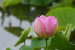 雨上がりの信濃国分寺蓮園 3 DSC_6332
