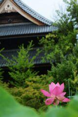 雨上がりの信濃国分寺蓮園 2 DSC_6329