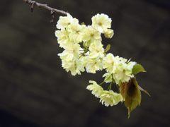 鬱金桜 2 DSCN7457