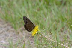 野の花にジャノメチョウ DSC_6011