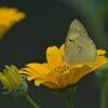 野の花にモンキチョウ  DSC_9782