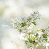 白い花  DSC_1632