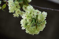 緑色の花びら DSC_4799