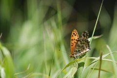 池の平のチョウ 4 DSC_5957
