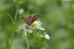 野の花にベニシジミ 3 DSC_5996