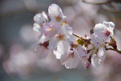 庭の桜  DSC_8444