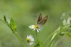野の花にベニシジミ 1 DSC_5958