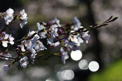 桜、キラキラ DSC_9149