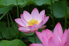 蓮の花 1 DSC_6108