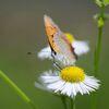 野の花にベニシジミ DSC_5956