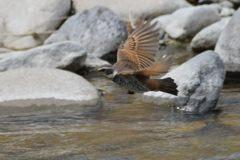 ツグミ飛ぶ DSC_9371