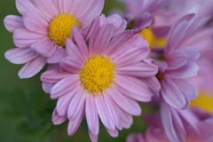 小菊の彩 1 DSC_8066