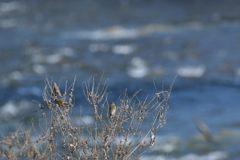 川原のカワラヒワ DSC_2057