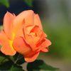 バラが咲いた! DSC_4721