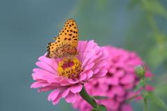 ピンクの残り花に DSC_8009