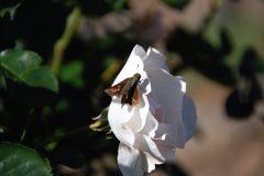 白バラにセセリン  DSC_3989