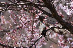 桜ヒヨ DSC_9291
