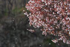 散りゆく桜花  DSC_8654