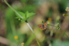 野の花にベニシジミ DSC_3837