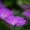 庭に咲く  DSC_8838