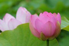 蓮の花 2 DSC_6109