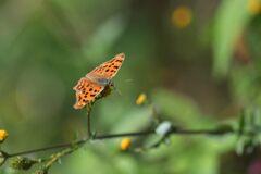 野の花にキタテハ DSC_3845