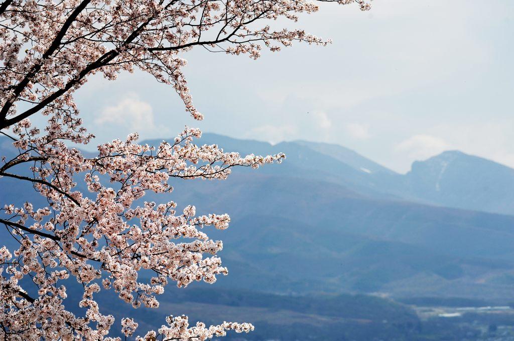桜~浅間山霞んで~ DSC_2463