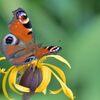 野の花にクジャクチョウ DSC_1044