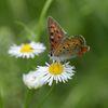 野の花にベニシジミ 4 DSC_6001