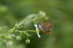 野の花にベニシジミ 3 DSC_5988
