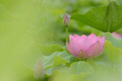 蓮の花 3 DSC_6118