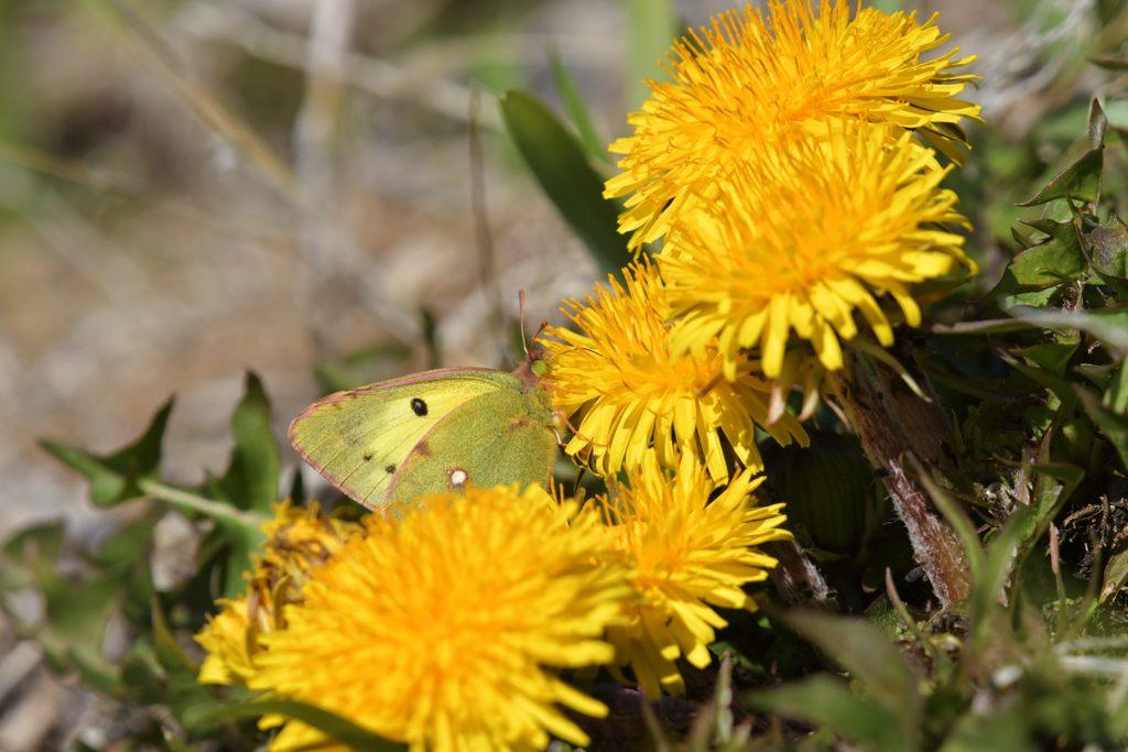 黄色と黄色 DSC_9298