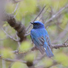 青い鳥 DSC_9903