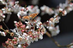 梅にキタテハ DSC_9098