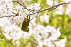 平成最後の桜ジロー DSC_9637
